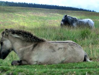 Ponies in Dartmoor