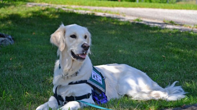 A Picture of a Golden Retriever Assistance Dog