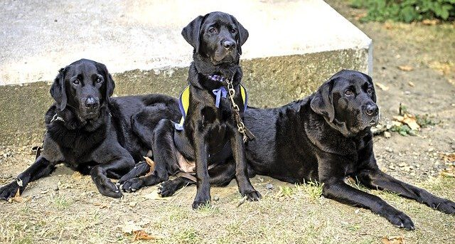 Three Black Labradors Sitting, waiting for a command.